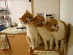 Оранжеви котки