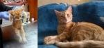 Оранжево коте преди и след приюта