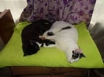 Осиновени котки