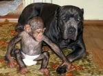 Осиротяло шимпанзе с приемната си майка, куче