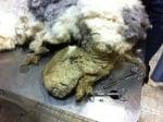 Отстраняване на сплъстената козина на куче