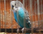 Отглеждане на вълнисти папагали в домашни условия
