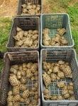 Открити защитени костенурки на сръбско-унгарската граница