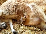 Убиха с пестициди семейство кенгура в зоопарк Хасково