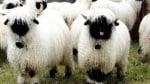 Овце с пухкава вълна