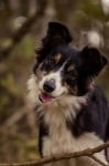 Овчарско куче бебе