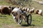 Овчарско куче с протеза