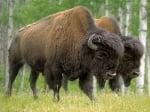 Разбра се причината за смъртта на бизоните в столичния зоопарк