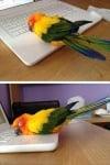Папагал върху лаптоп