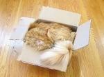 Персийска котка в кашон