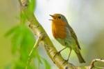 Песента на птичките действа успокояващо