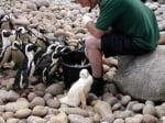 Пингвин албинос
