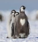 Пингвин със сърчице