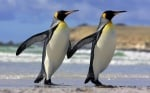 Пингвини вървят ръка за ръка