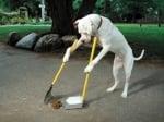 Питбул чисти след себе си
