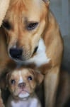 Питбул с бебе