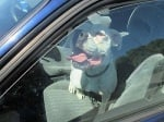 Питбул в кола