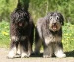Планинско куче от Айрес