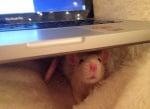 Плъх под лаптоп