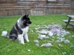 Полезни съвети за кучешката козина. Защо козината на кучето пада толкова много?