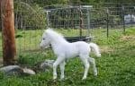 Пони албинос
