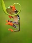 Позитивна зелена жабка