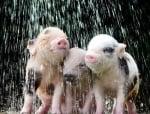 Прасенца под дъжда