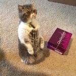 Права персийска котка