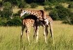 Прегърнати жирафи