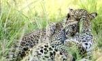 Прегърнати леопарди