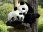 Прегърнати панди