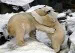 Прегърнати полярни мечки