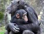 Прегърнати шимпанзета