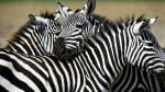 Прегърнати зебри