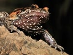 Преоткрита жаба в Израел