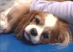 Причини за Ендокардит при кучето
