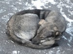 Причини за Перикардит при кучето