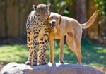 Приятелство между гепард и куче