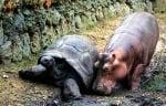 Приятелство между костенурка и хипопотам