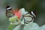Прозрачни пеперуди