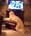 Пудел гледа телевизия върху табуретка