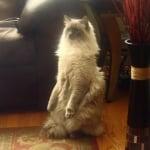 Пухкава котка на два крака