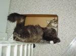 Пухкава котка в кашон