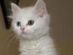 Пухкаво котенце с различни очи