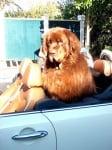 Пухкаво куче в кола