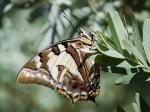 Пъстра пеперуда