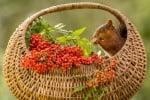 Ядене на червени плодове