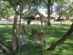 Ранена зебра в Зимбабве