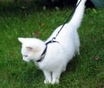 Разхождане на котка
