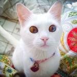 Различен цвят на очите при котка